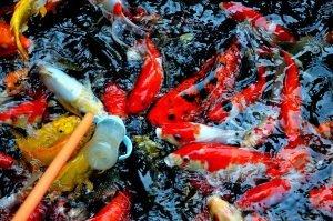 jual ikan koi | Jual ikan koi Harga Grosir