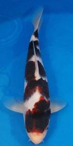jual ikan koi goromo | Jual ikan koi Harga Grosir